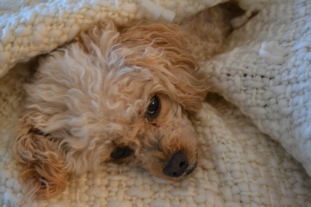 Poodle in a Blanket